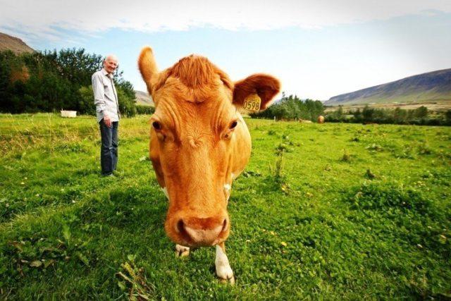 Farmář a kráva