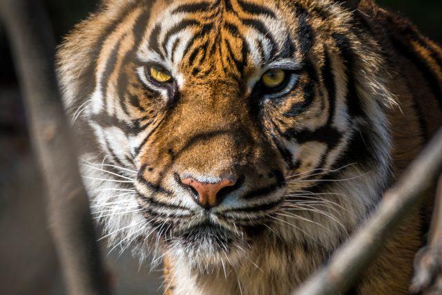 Tygr   foto: Pexels,  CC0 1.0