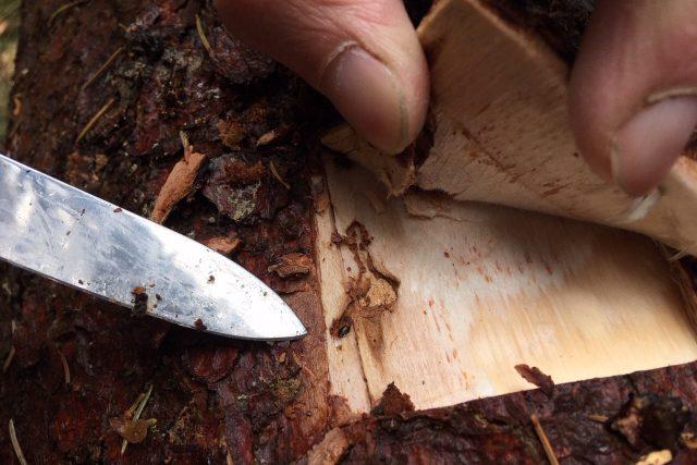 Kůrovec ve dřevu (ilustrační foto)