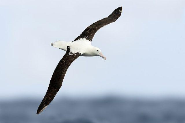 Albatros, Tasmánie