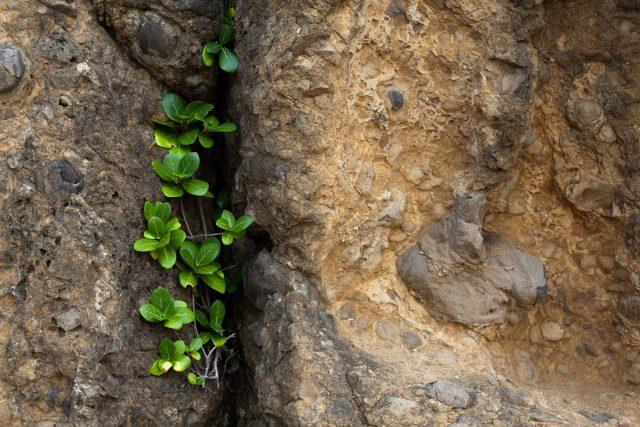 Rostlina ve skalní puklině