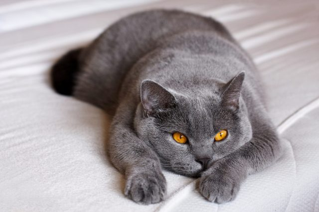 Britská modrá kočka   foto: Fotobanka Pixabay