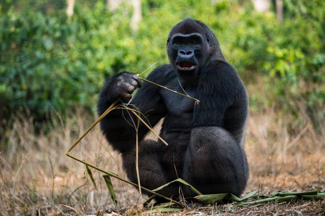 Gorila v záchranné stanici v Méfou | foto: Khalil Baalbaki,  Zoo Praha