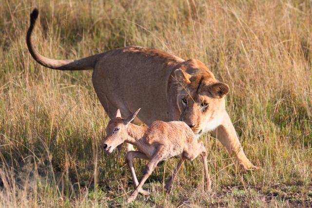 Lev a antilopa