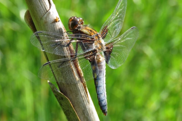 Do mokřadu se vrátily některé druhy živočichů, vážka ploská