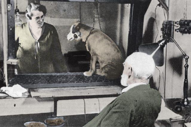 I. P. Pavlov během jednoho ze svých pokusů se psy