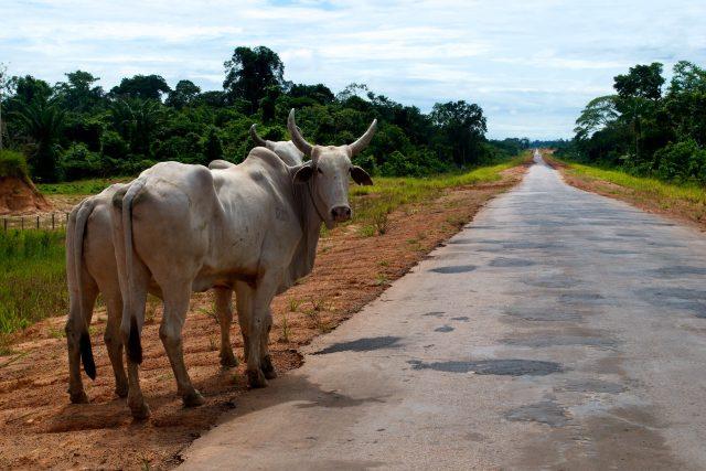 Nejvíc odlesňují chovatelé dobytka. Brazílie je největší světový vývozce hovězího masa,  které do brazilské ekonomiky vloni přispělo šesti a tři čtvrtě miliardami dolarů | foto:  CIFOR,  Flickr,  CC BY-NC-ND 2.0