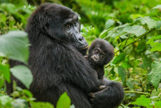 Samice gorily horské s mládětem