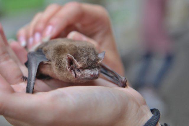 Handicapovaná samička netopýra rezavého Anežka