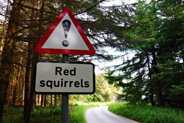 Roku 1981 Spojené království červené veverky zařadilo mezi chráněné živočišné druhy