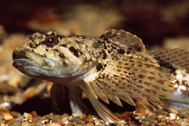vranka obecná, ryba