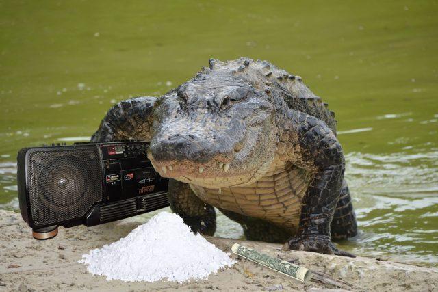 Vědci dali aligátorům sluchátka a ketamin, aby zjistili, jak fungoval sluch dinosaurů