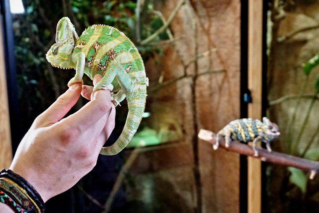 Mezi sebou se chameleoni moc nekamarádí | foto: Šárka Mattová,  Český rozhlas
