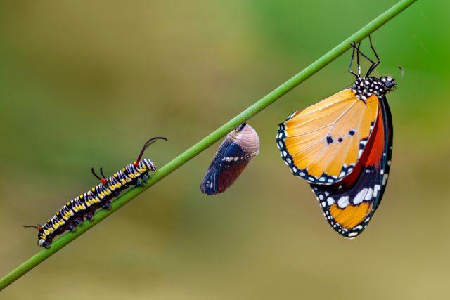 Fáze vývoje motýla