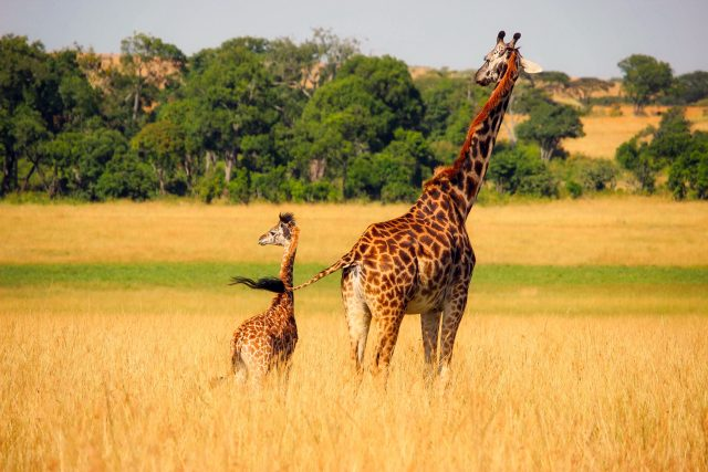 Žirafí mláďata chodí krást mléko i k jiným matkám