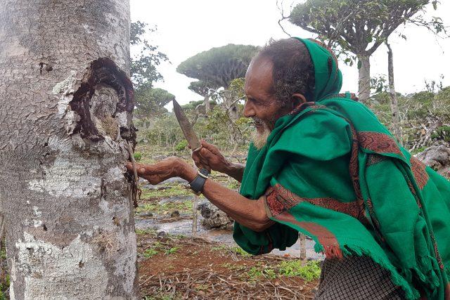 Dračí krev je pro obyvatele Sokotry nejvýznamnějším přírodním bohatstvím