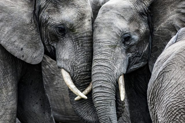 Sloni dokáží truchlit pro své mrtvé