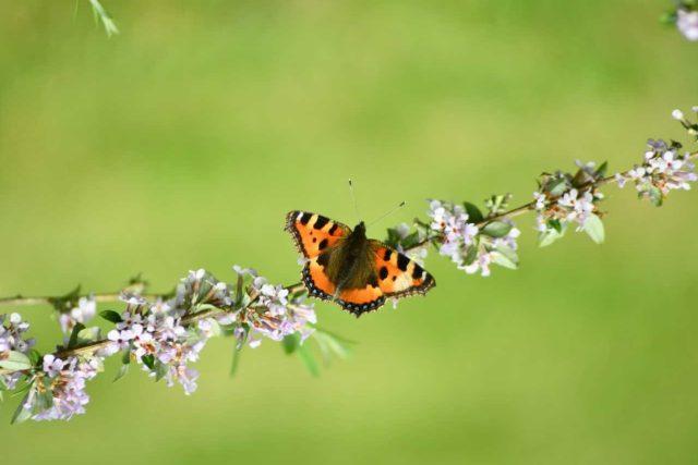Jakmile motýlí keř rozkvete, slétnou se na něj motýli