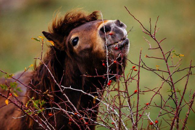 Divoký kůň, Milovice