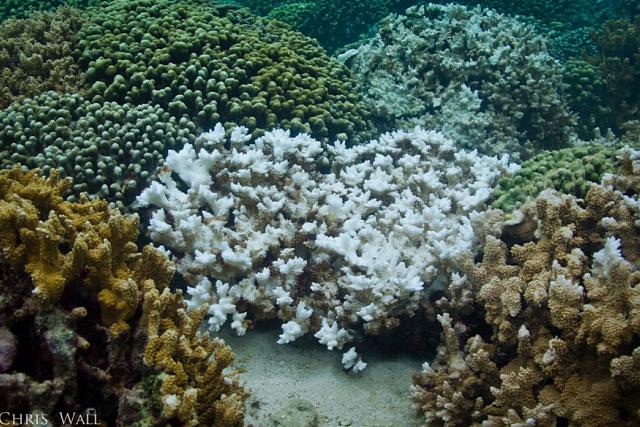 Pohled na část korálového útesu s různě vybělenými koráli..png