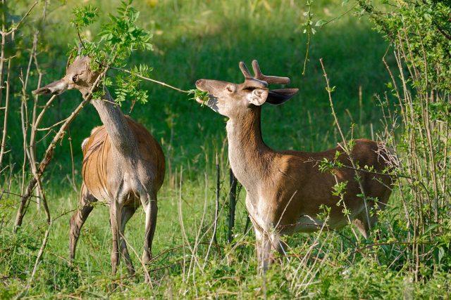 Lesní zvěř likviduje mladé porosty (ilustrační foto)