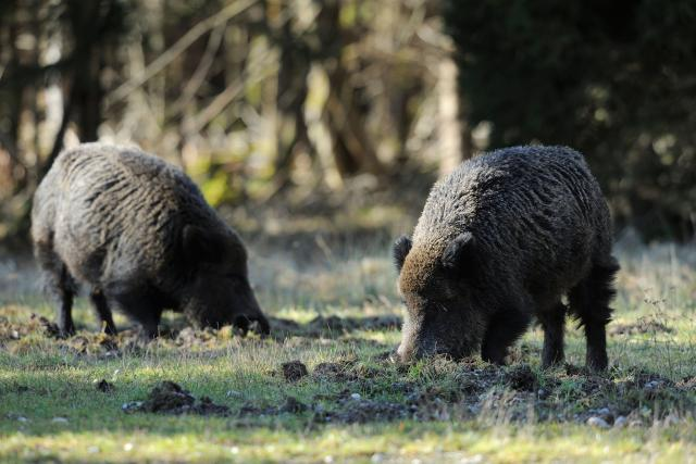 Divoká prasata,  divočáci. Ilustrační foto | foto: Fotobanka Profimedia