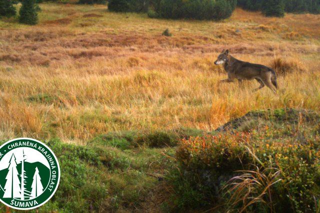 Vlk zachycený fotopastí Národního parku Šumava | foto: Národní park Šumava