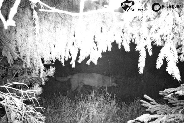 Vlk, zachycený na fotopasti v Orlických horách na konci září