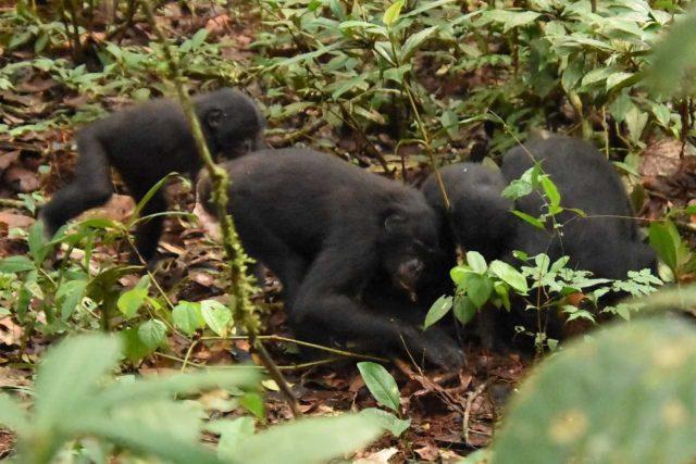Bonobové se krmí nově objevenou houbou v v Národním parku Kokolopori v Kongu | foto: Václav Gvoždík