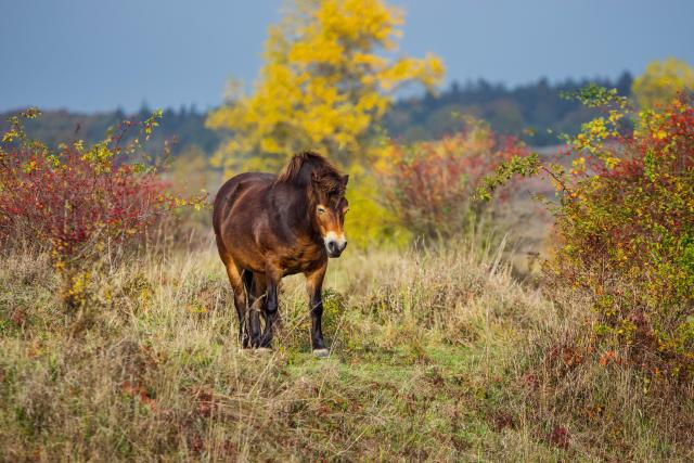 Exmoorský pony | foto: Fotobanka Profimedia