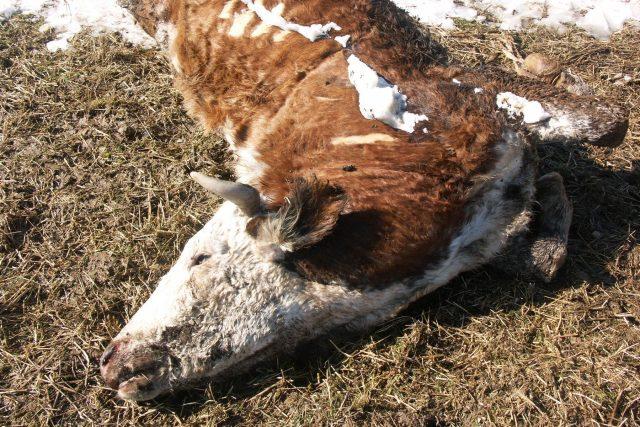 Případ nelegální porážky krav otřásl Polskem.  (ilustrační foto) | foto: Profimedia