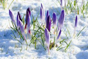 Jarní květiny ve sněhu