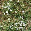 Rožec kuřičkolistý (Cerastium alsinifolium)
