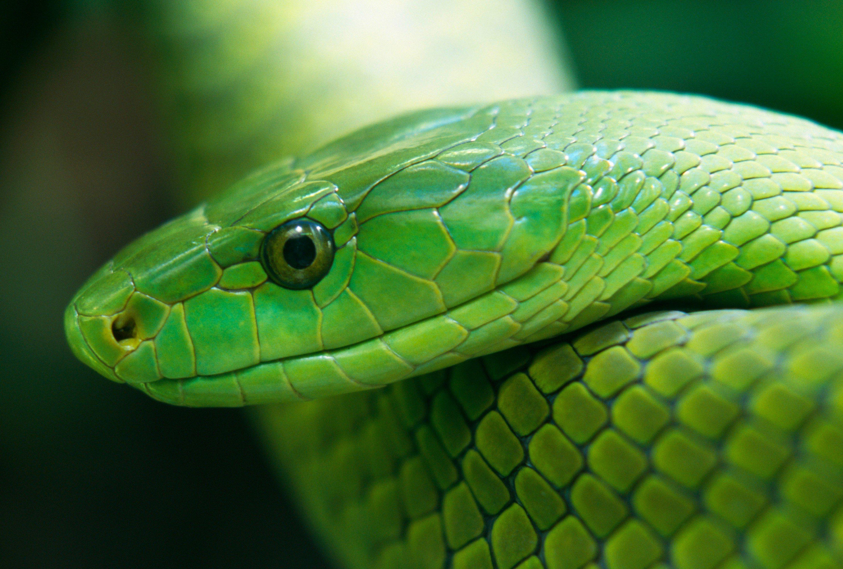 Smrtelně jedovatá mamba zelená